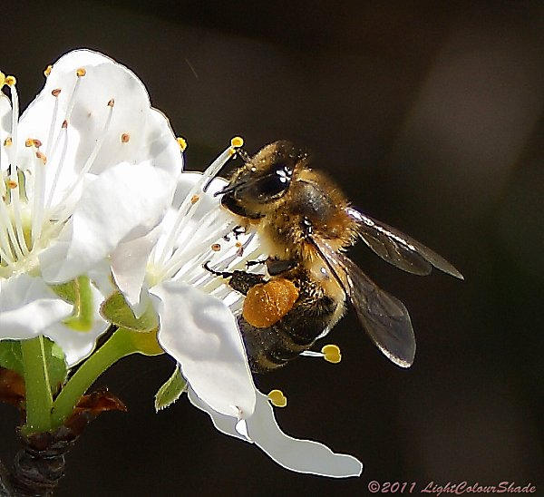 Bee collecting nectar from apple tree flowers
