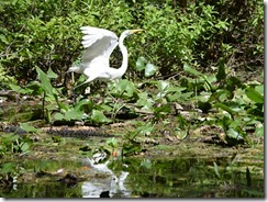 Egret and Gator