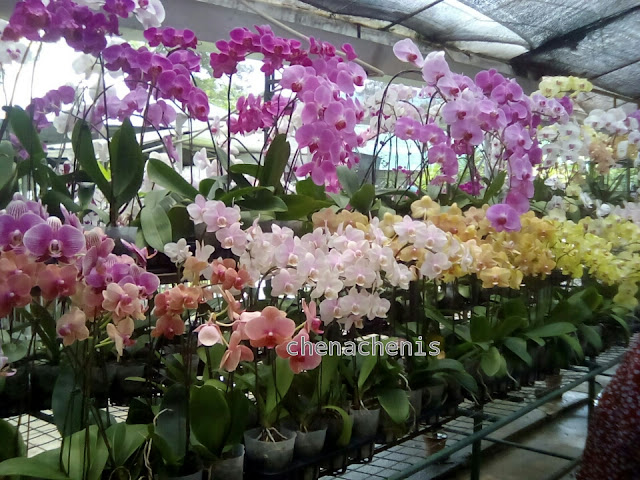 WORLD OF PHALAENOPSIS