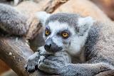 Portrait of a lemur (© 2014 Bernd Neeser)