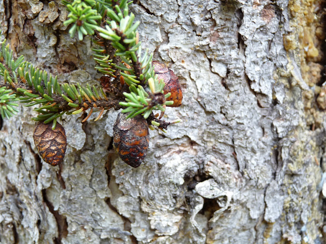 close-up of Black Spruce bark, needles and cones