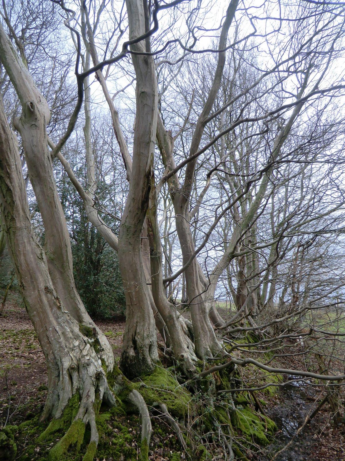 CIMG6215 Old hornbeam hedge