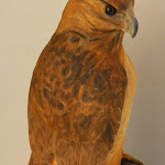 red tail hawk 004.jpg