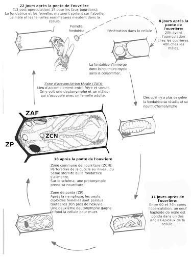 cycle varroa