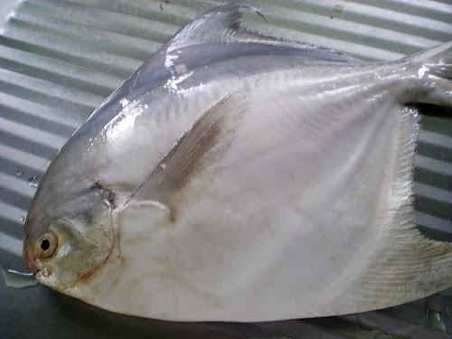Gaya Terbaru 36 Ikan Bawal
