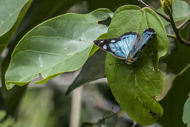 Dynamine myrson (E. Doubleday, 1849), ssp. Cupiagua, 720 m (Casanare, Colombie), 5 novembre 2015. Photo : B. Lalanne-Cassou