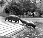 Vízilovak a budapesti állatkertben, 1940 (Fotó: Fortepan)