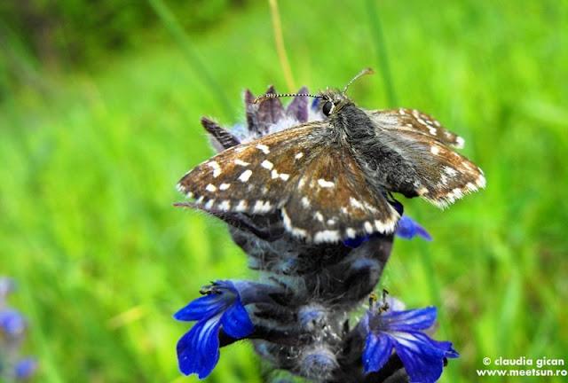 un fluturas negru pe o floare albastra