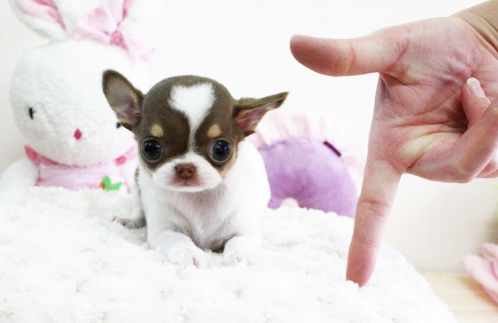 Cách nuôi chó chihuahua mini và teacuo