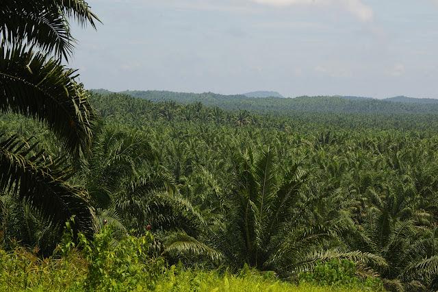 Plantation de palmiers à huile. Sukau, 12 août 2011. Photo : J.-M. Gayman