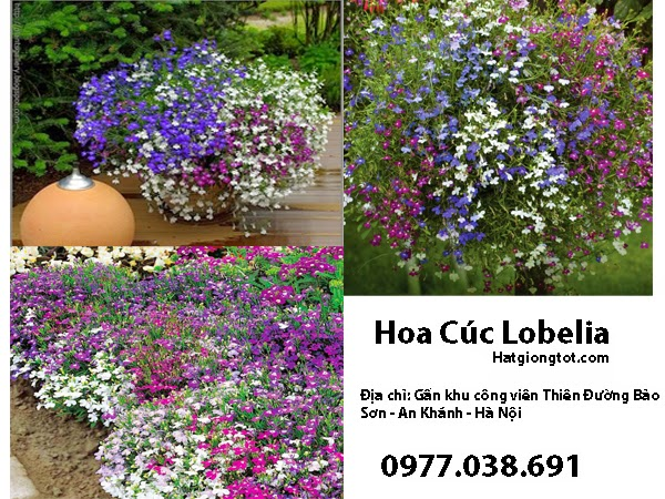Hoa Lobeli