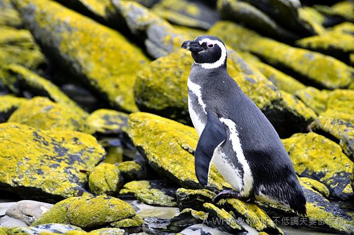 【南極遊輪探索旅遊】麥哲倫企鵝 Magellanic Penguin@福克蘭群島
