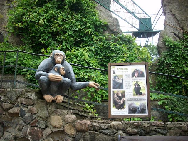 Szympans nawet przypomina siebie!
