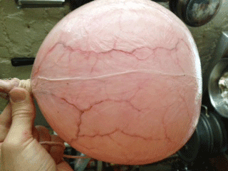 Inflated pig bladder used as a soccer ball