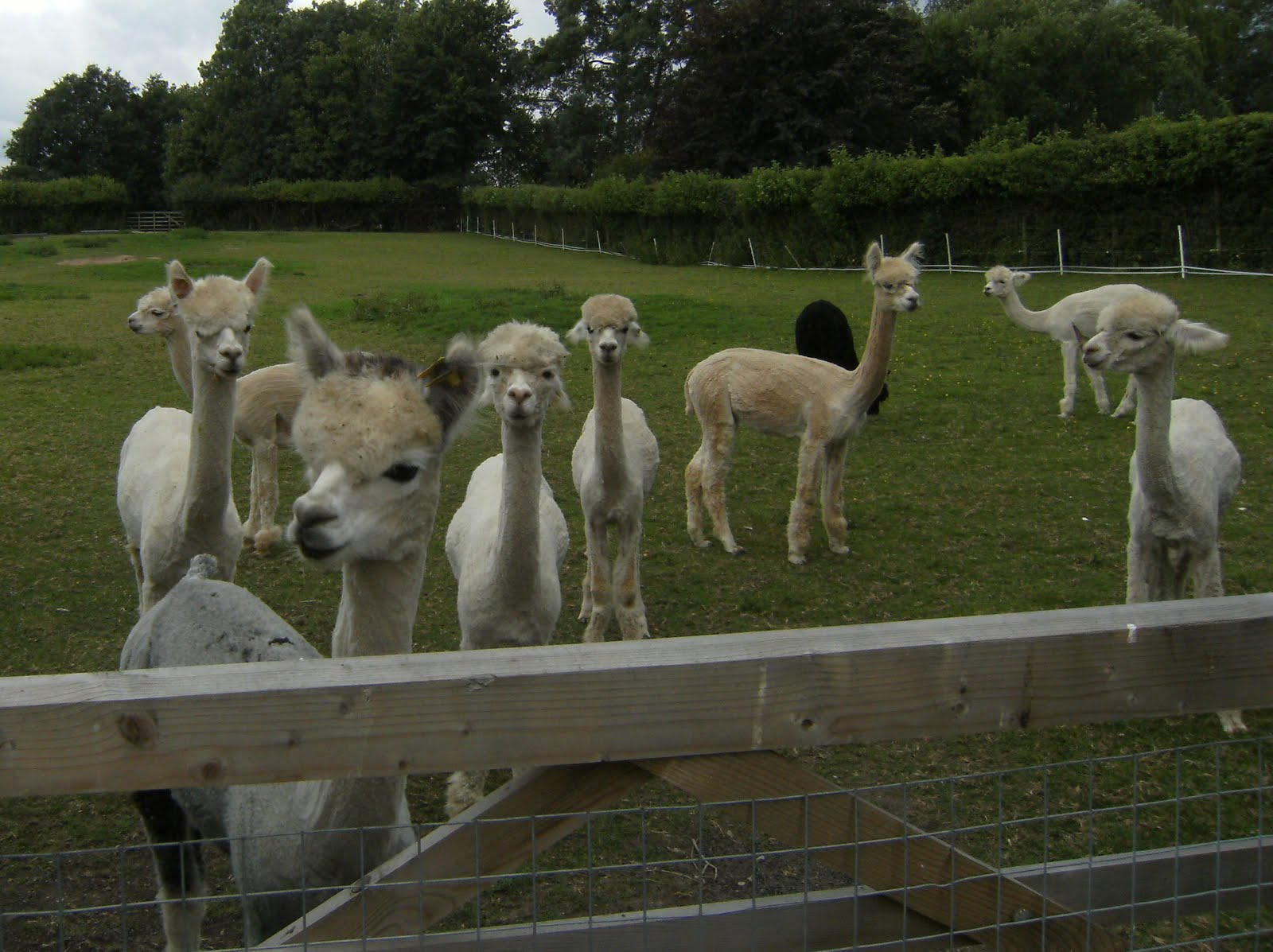 DSCF8753 Inquisitive alpacas at Small Hythe
