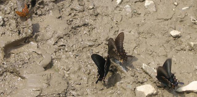 Euphydryas Intermedia et Papilio maacki MÉNÉTRIÈS, 1859. Tigrovoy, 25 juin 2011. Photo : J. Michel