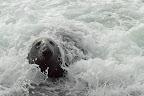 SOUS LA DOUCHE Phoque gris sur une plage de l'Ile Bonaventure, avant le passage des premiers bateaux