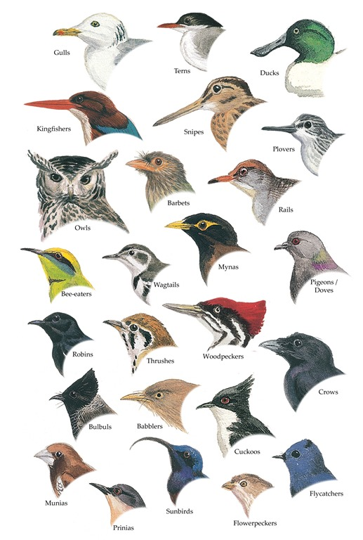 [An+Illustrated+Guide+to+the+Birds+of+Sri+Lanka+26-38n-5%5B5%5D]