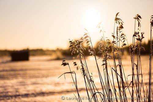 Reeds Finland Oulu bird watching