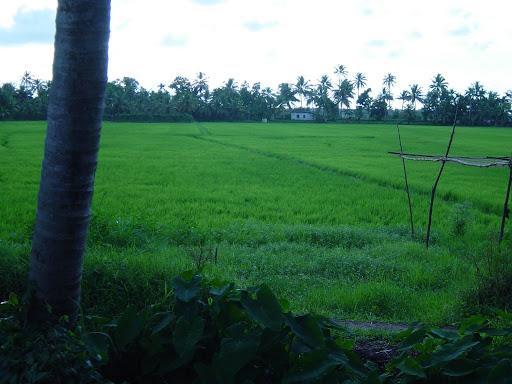 Pole ryżowe, Kerala