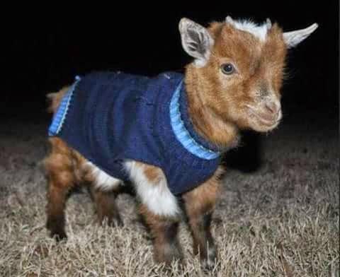 Baby Goat Lovely Pics