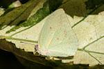 Catopsilia florella.4.jpg