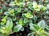 THYME -  The flowers, leaves & oil of thyme are commonly used by people for the treatment of bedwetting, diarrhea, stomach ache, arthritis, colic, sore throat, cough, bronchitis, and much more. It also contains one of the strongest antioxidants known & is proven to kill 98% of breast cancer cells.