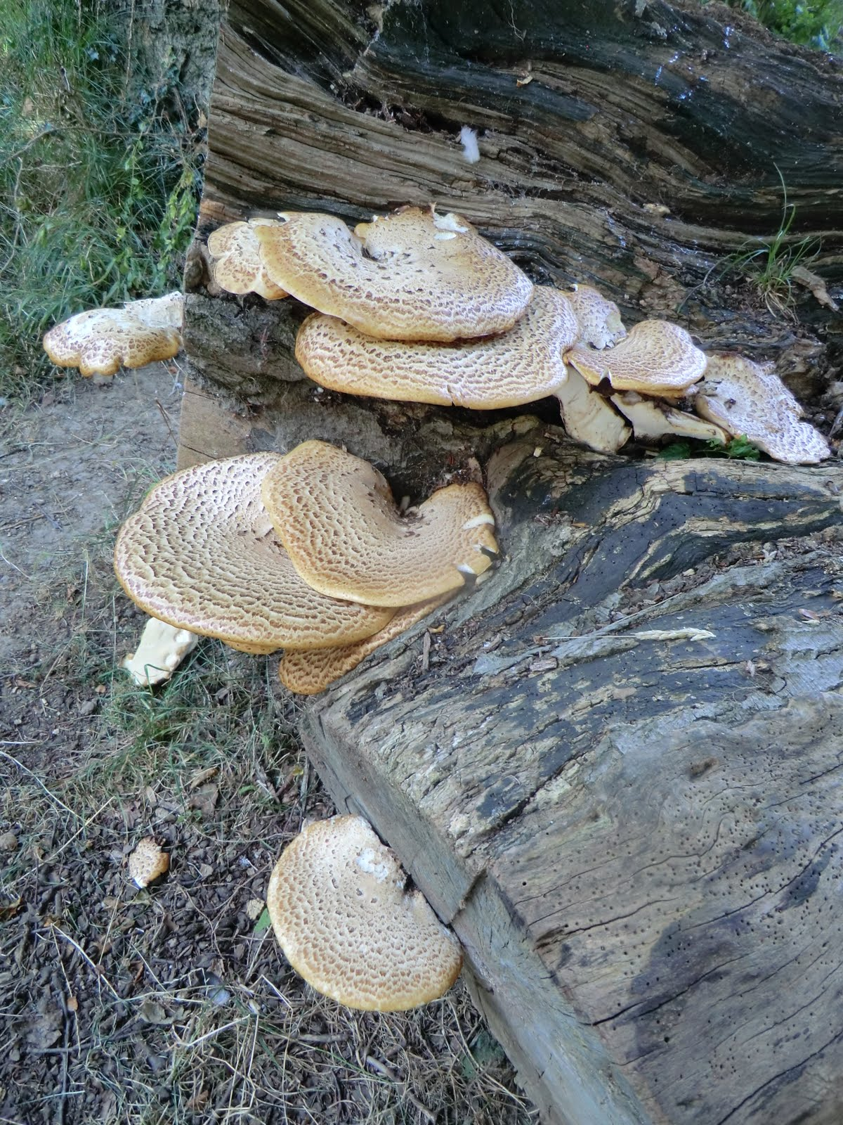 CIMG6050 Dryad's Saddle, Beechy Ride