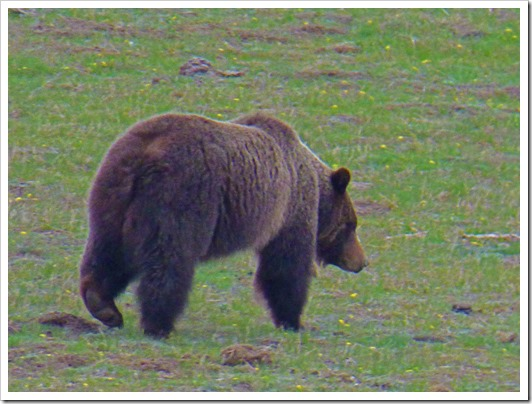 Grizzly Bear, near Old Faithful Exit, Yellowstone May 7, 2016