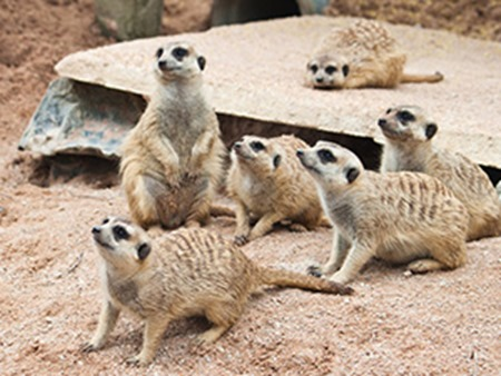 Meerkat Burrows at Wicksteed Park