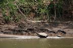 Turtles in Reserve Zone (Manu National Park, Peru)
