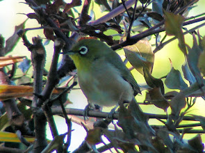 Photo: Japanese White Eye