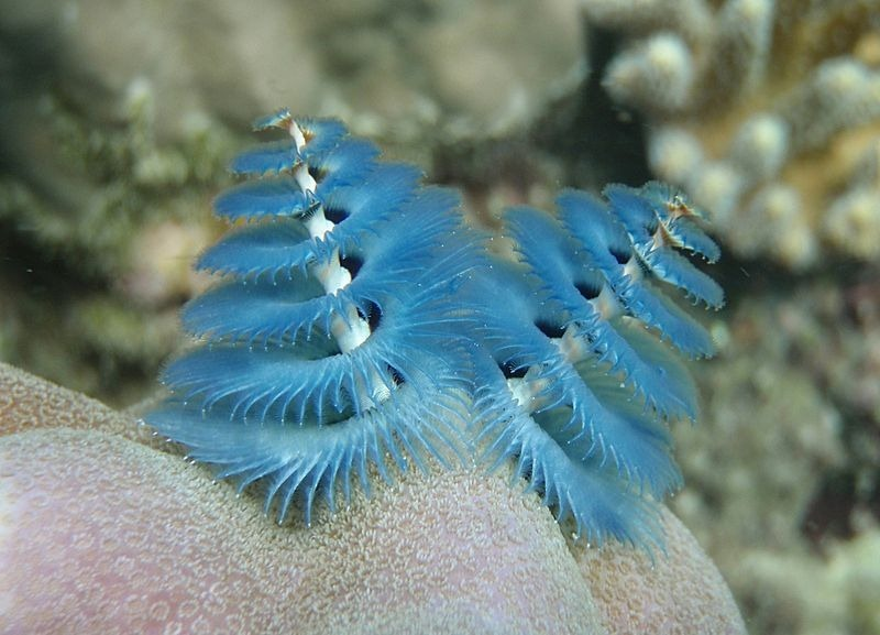 christmas-tree-worm-2