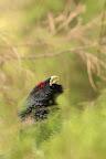 GONFLÉ   Durant les parades, le grand tétras hérisse les plumes de son cou et de sa queue pour initimider les concurrents et gagner le coeur de sa promise