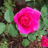 Gardening 2010 - 101_1563.JPG