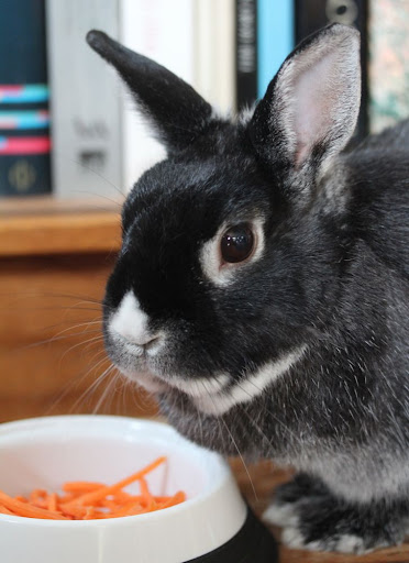 Jack the bunny, with shredded carrots