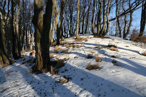 Snehom pokrytý bukový les