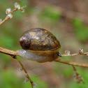 Snail sp.