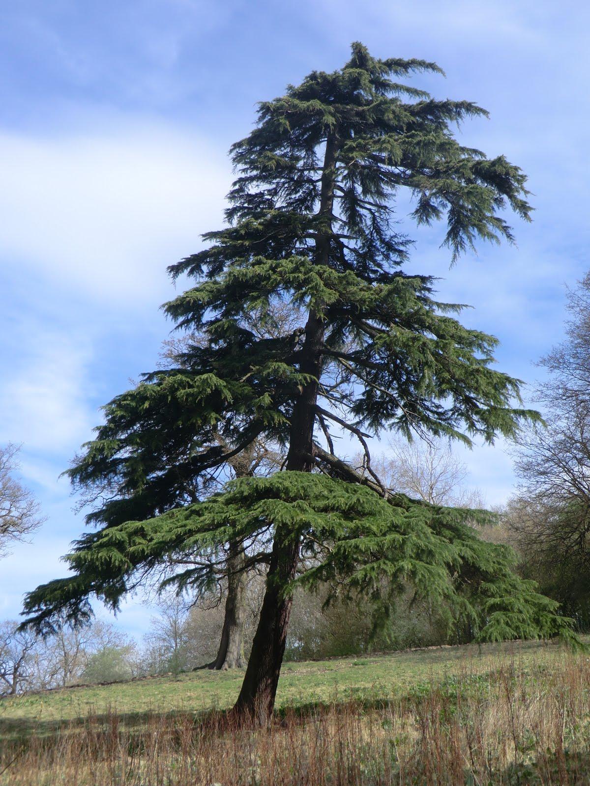CIMG0326 Parkland tree, Limpsfield