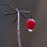 High-Bush-Cranberry_MG_2859-copy.jpg