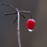 High-Bush-Cranberry_MG_2859-copy.jpg