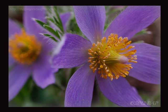 Pasque flower -- You Can Grow That!