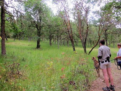 On the Cheetah Walk at Wildlife Safari. Our Ambassador Cheetah is looking at a deer to the back left in the woods...