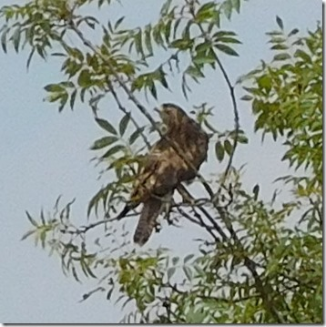 7 buzzard