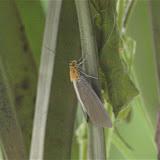Noctuidae : Aganainae : Asota heliconia LINNAEUS, 1758. Jinghong, Xichuangbanna (Yunnan), 25 août 2010. Photo : J.-M. Gayman