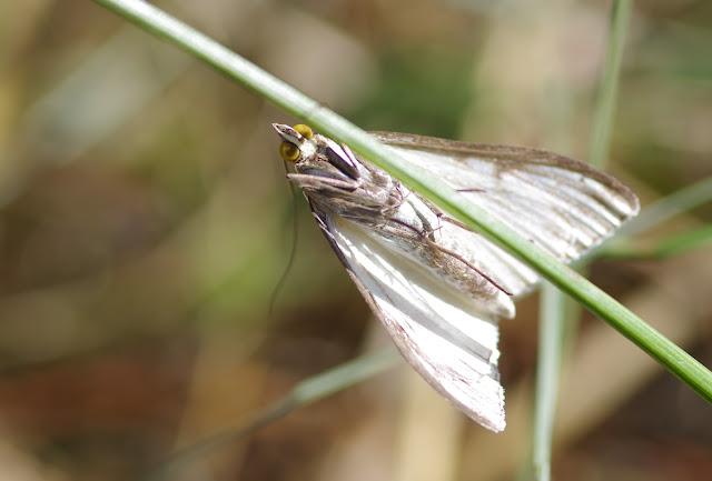 Crambidae : Pyraustinae : Sitochroa palealis ([DENIS & SCHIFFERMÜLLER], 1775). Les Hautes-Lisières (Rouvres, 28), 28 août 2012. Photo : J.-M. Gayman