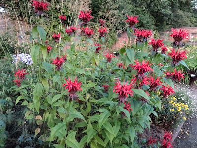 Monarda `Jacob Cline'