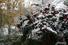 Parc de Belleville : feuillage vert et baies rouges