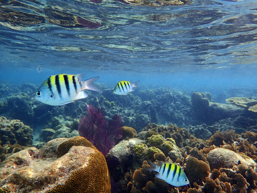 A yellow tropical fish in the reef near West End Beach in Roatan, Honduras.