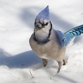 Blue jay by Michael Velardo - Animals Birds ( blue jay bird, nature, cyanocitta cristata, snow, wildlife,  )
